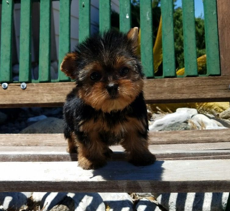 Yorkshire Terrier Puppy For Sale In Los Angeles Ca Adn 34994 On