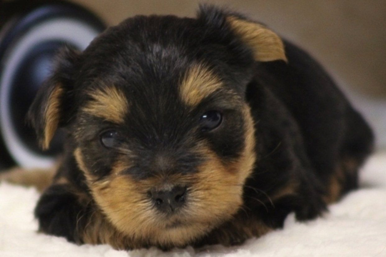 Pin By Vip Puppies Animals Dogs On Puppies For Sale In 2020 Yorkshire Terrier Puppies Yorkshire Terrier Puppies