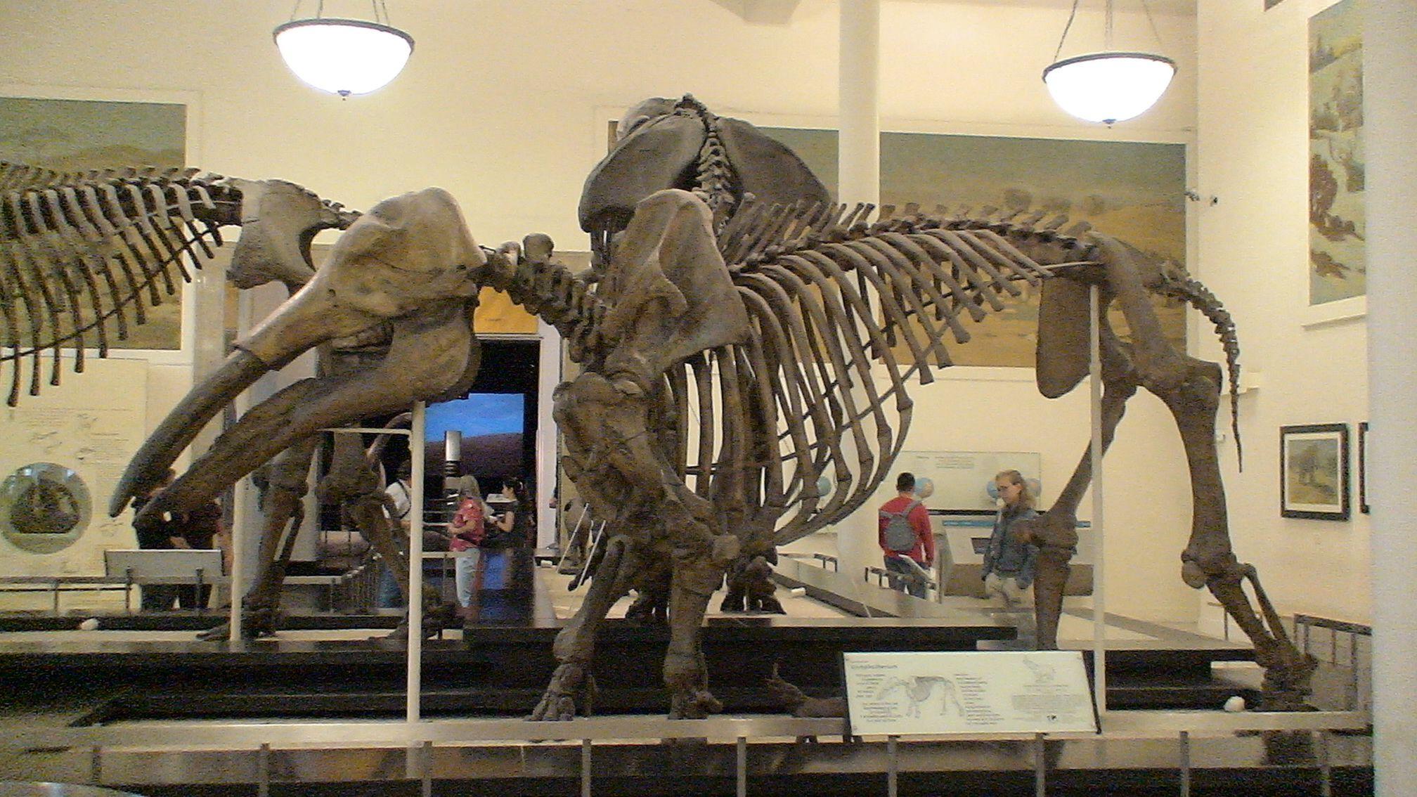 Esqueleto De Gomphotherium En El Museum Of Natural History