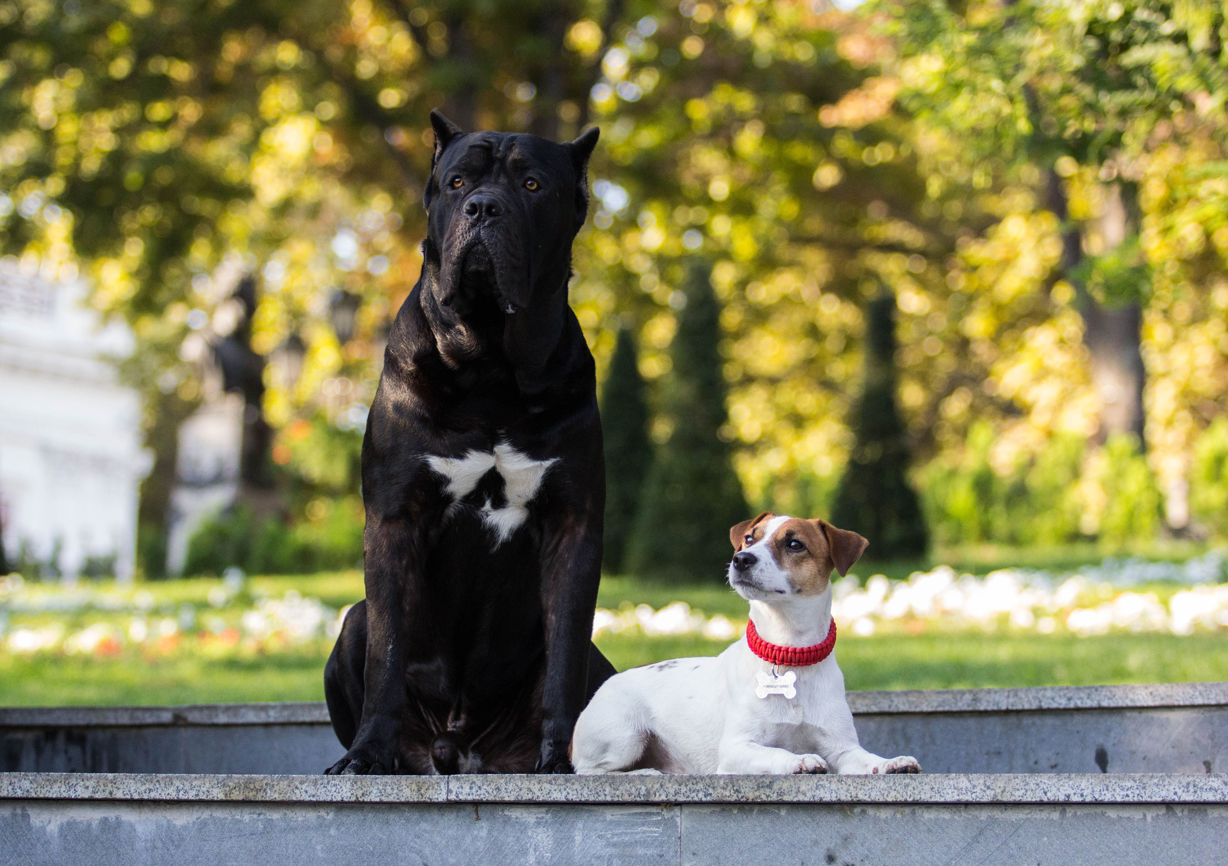 Jack Russell Capone And Cane Corso Arif