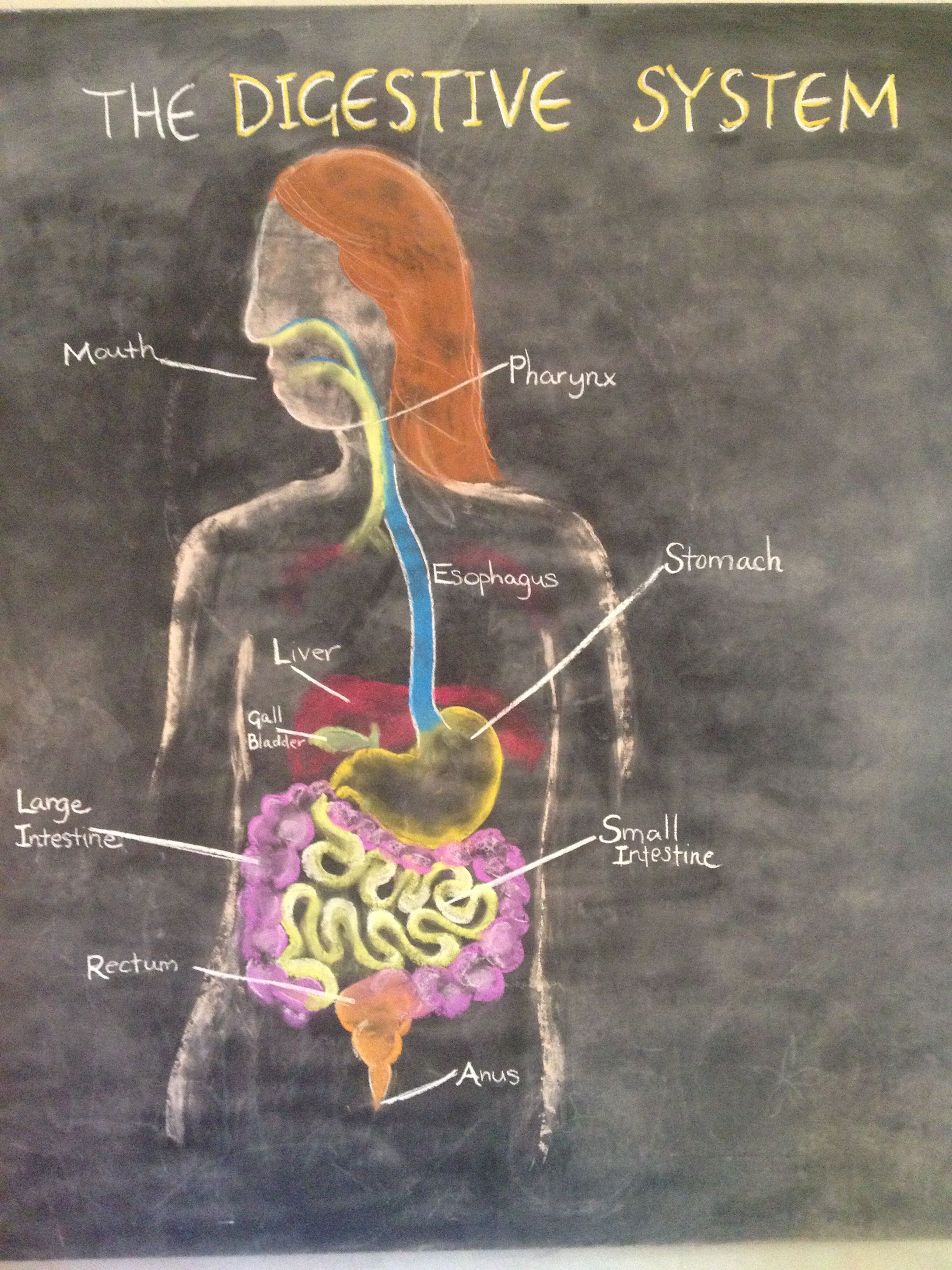 The Digestive System Waldorf Home School Grade 7