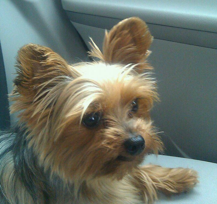 Yorkshire Terrier Energetic and Affectionate Yorkshire