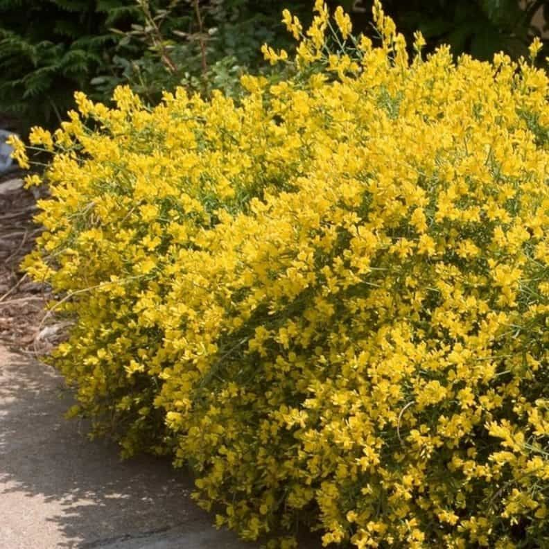Garden With Broom Shrubs With Yellow Flowers