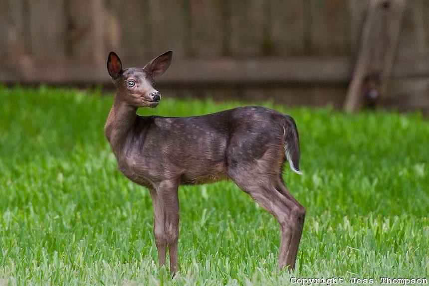 Incomplete Melanistic Whitetail Deer Animals Wild Whitetail Deer Melanistic