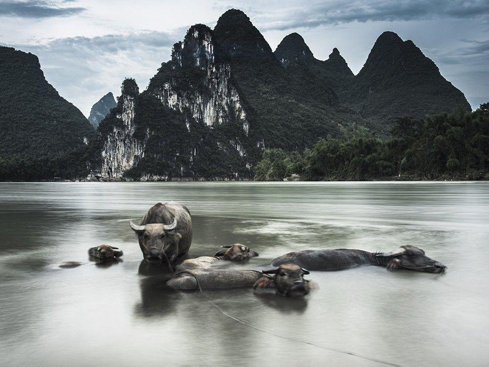 Water Buffalo Image China National Geographic Photo Of The Day National Geographic Photos National Geographic Nature Photos