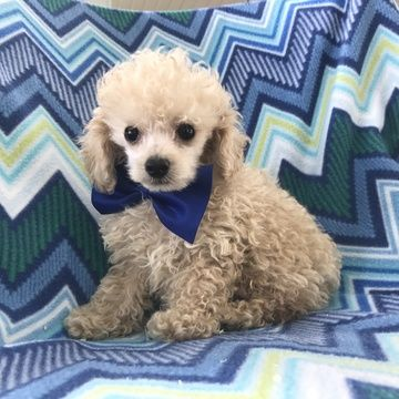 Poodle (Toy) puppy for sale in EPHRATA, PA. ADN46620 on