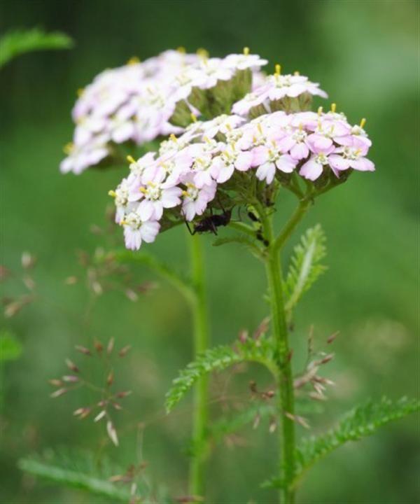 Buy Yarrow Wild Flowers Achillia Miellefolium Trees By Post Wild Flowers British Wild Flowers Hedging Plants