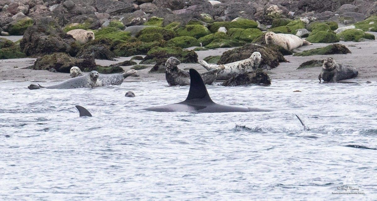 Shetland Orca Sightings Tips for Watching these Sea