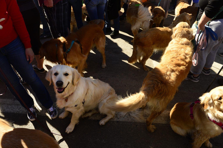 Photos Hundreds Of Dogs Celebrate International Golden Retriever