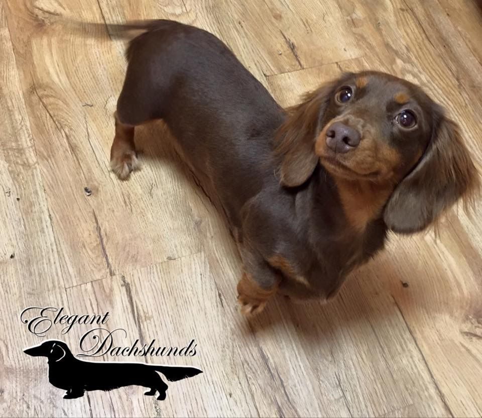 Chocolate And Tan Dachshund Elegant Dachshunds Long Haired
