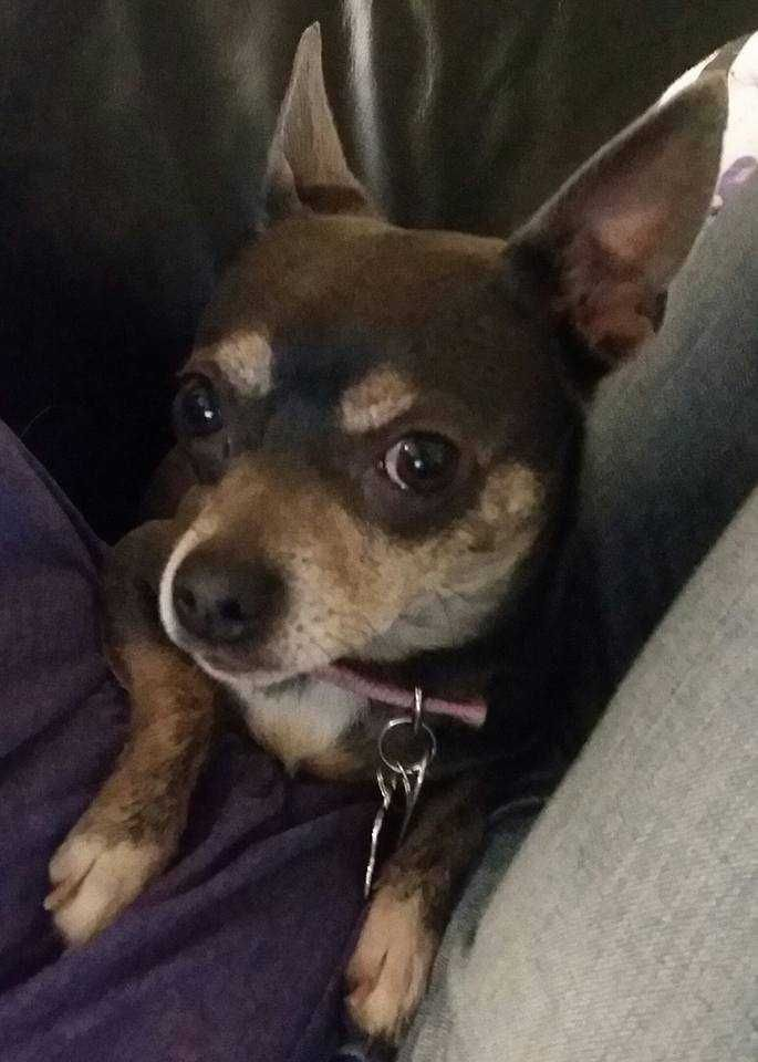 Chihuahua Dog For Adoption In Raleigh Nc Adn 508159 On