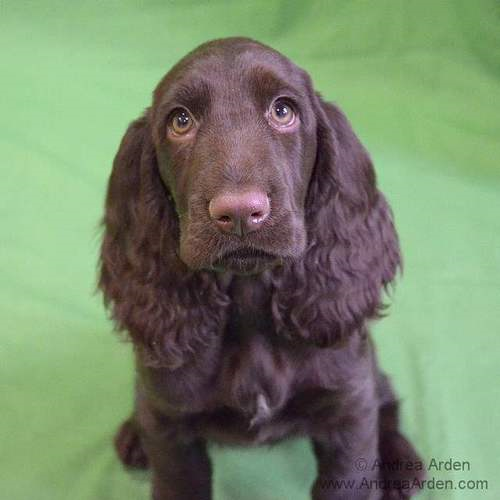 Bernie the Field Spaniel | via Tumblr puppy class #puppy ...