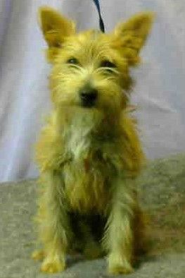 Cairwich Terrier Dog For Adoption In Seattle Wa Adn 606815 On