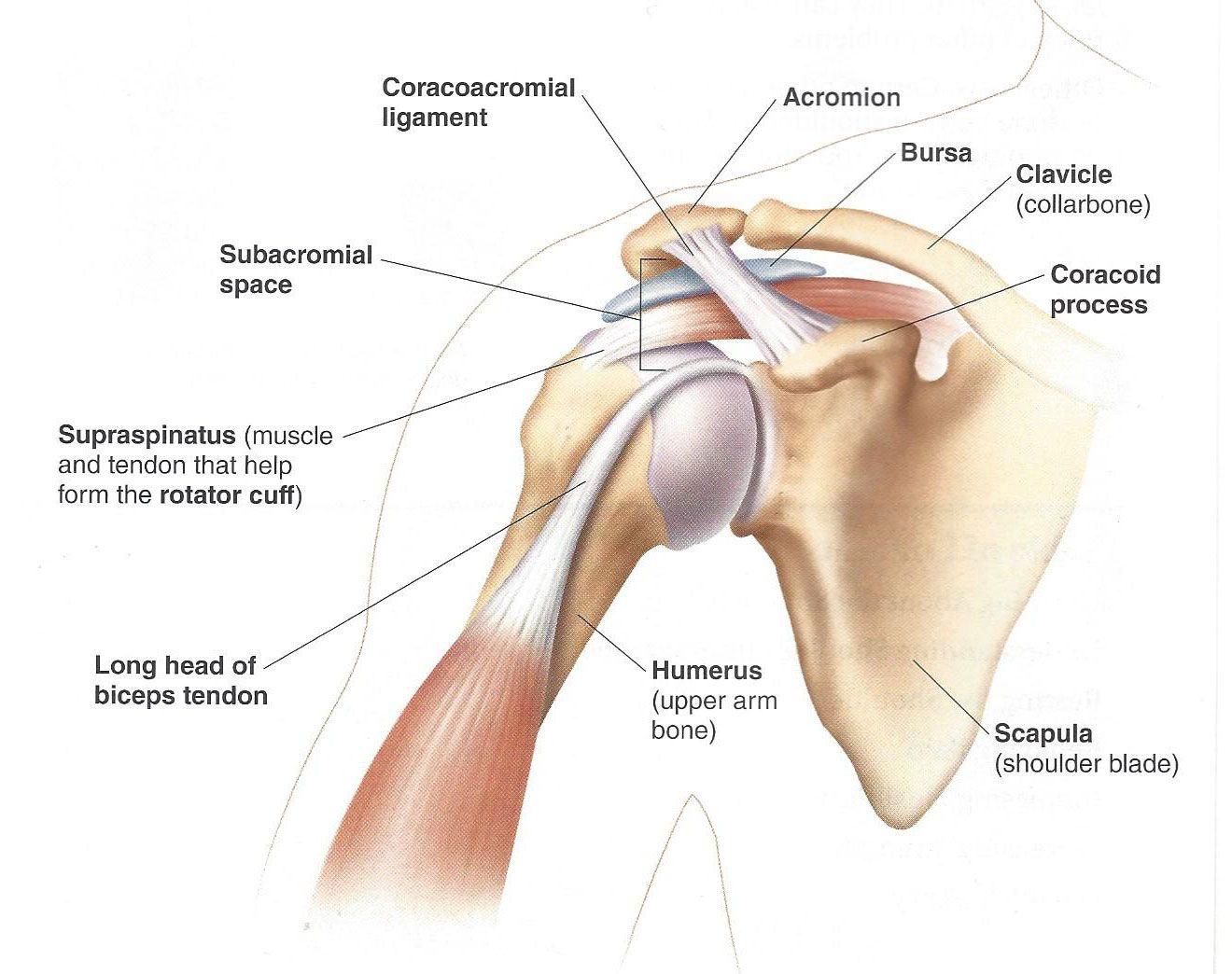 Collar Bone Diagram Wiring Diagram Online