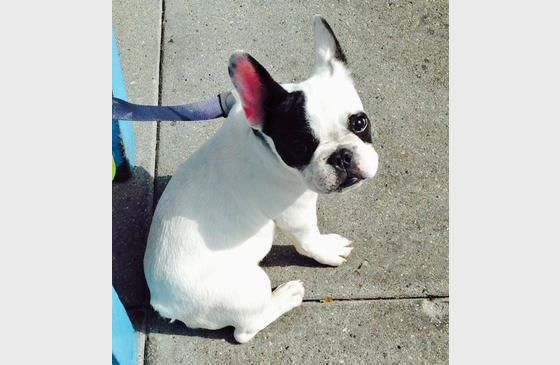 The Daily Puppy Photo Gallery Puppies Cuddly Animals French Bulldog
