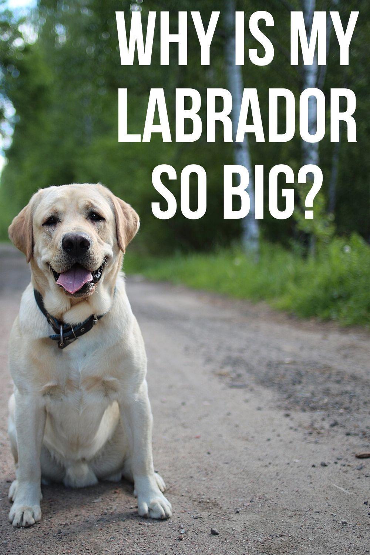 Pin On Labrador Tips
