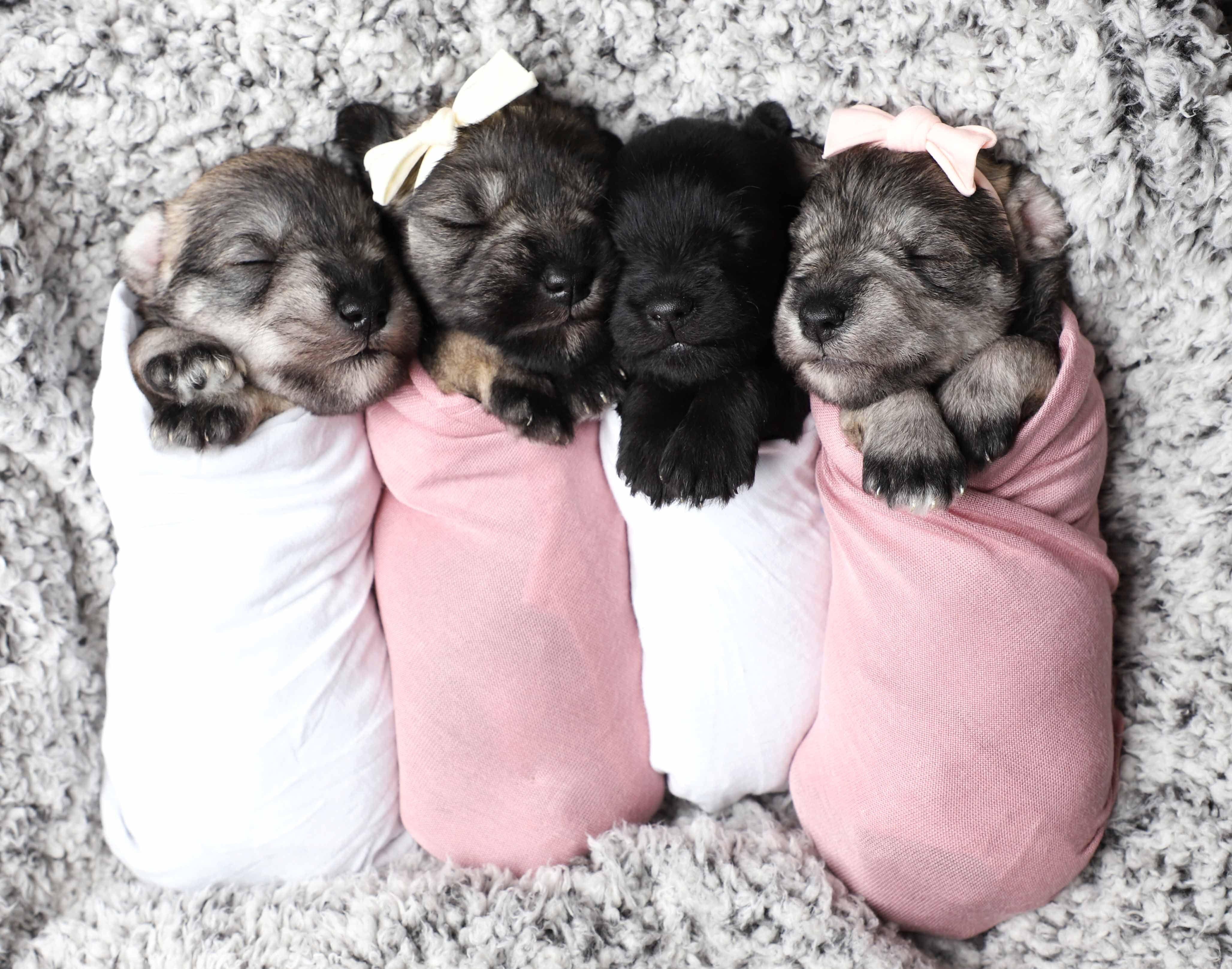 Newborn Puppies Image By Amber Barnett On Pics In 2020 Miniature