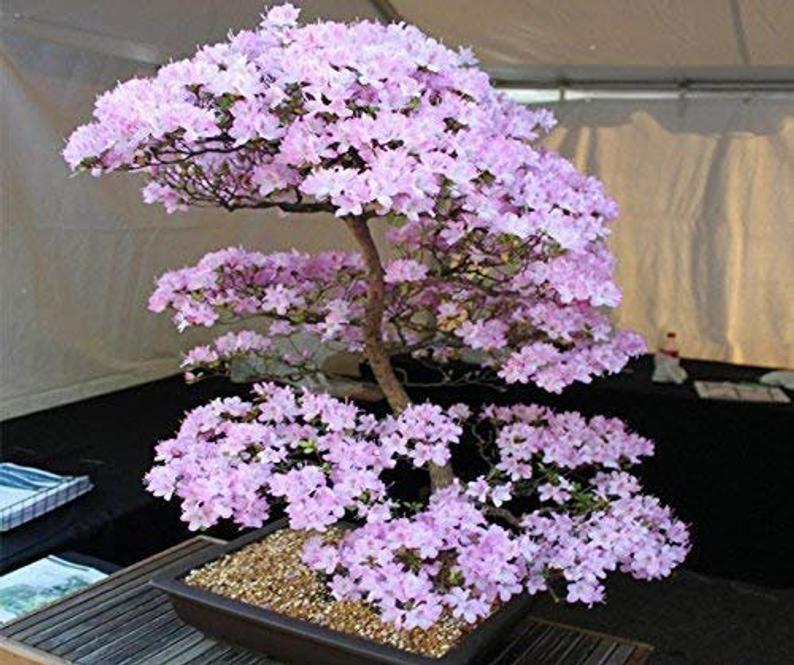 Japanese Cherry Blossom Bonsai Tree Seeds 10 Pack Etsy Cherry Blossom Bonsai Tree Japanese Cherry Tree Flowering Bonsai Tree