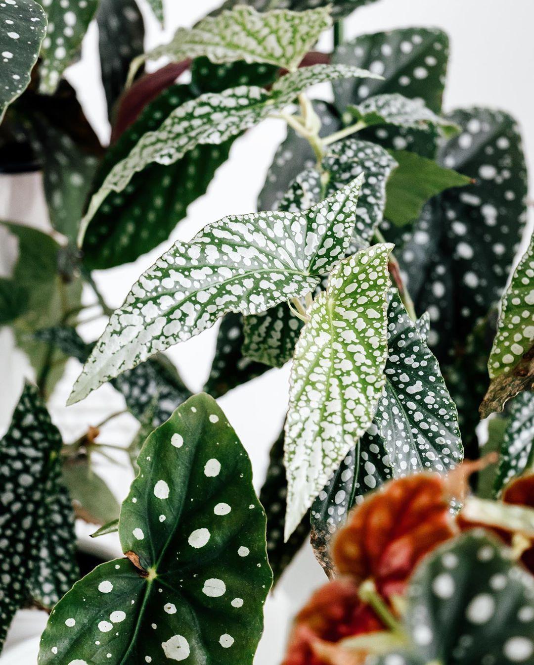 Begonia White Ice Begonia Maculata Wightii Begonia Maculata