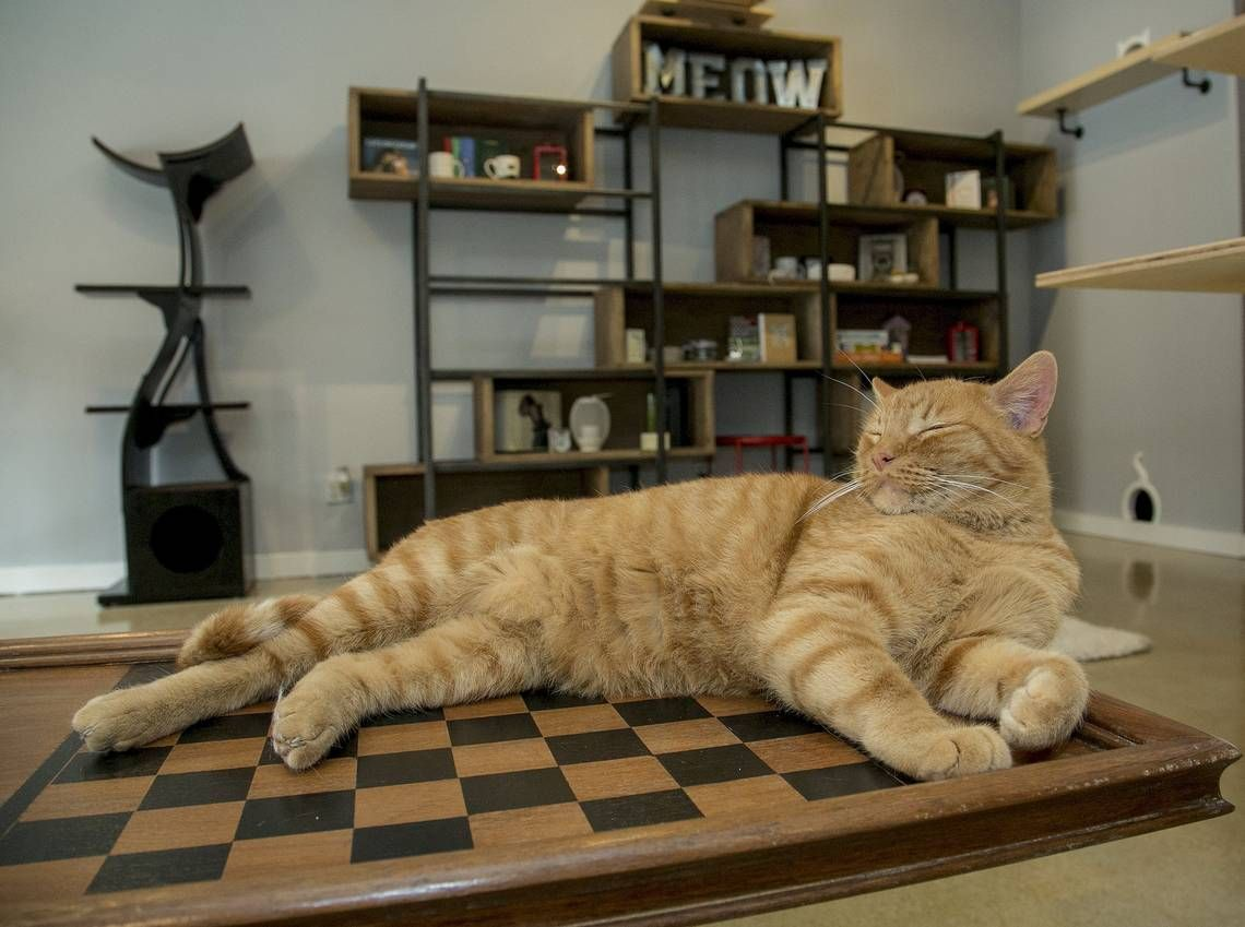 Cat Cafes in KC Cats, Cat cafe, News cafe