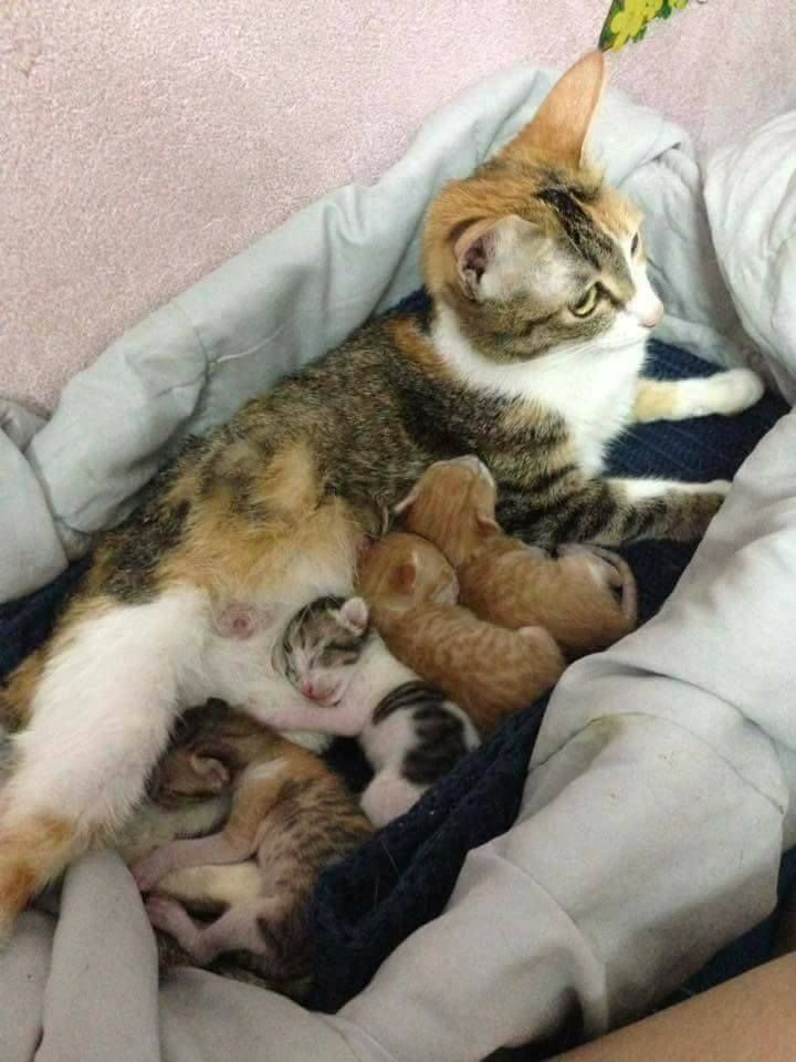 When Momma Gave Birth To Kittens Daddy Cat Refused To Let Her Go