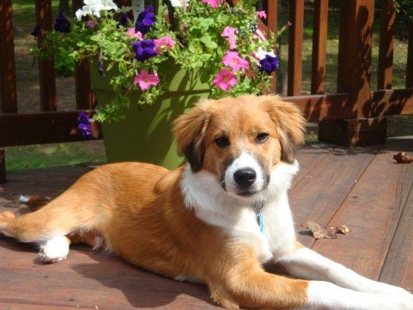 Franky A Beagle Shetland Sheepdog American Staffordshire
