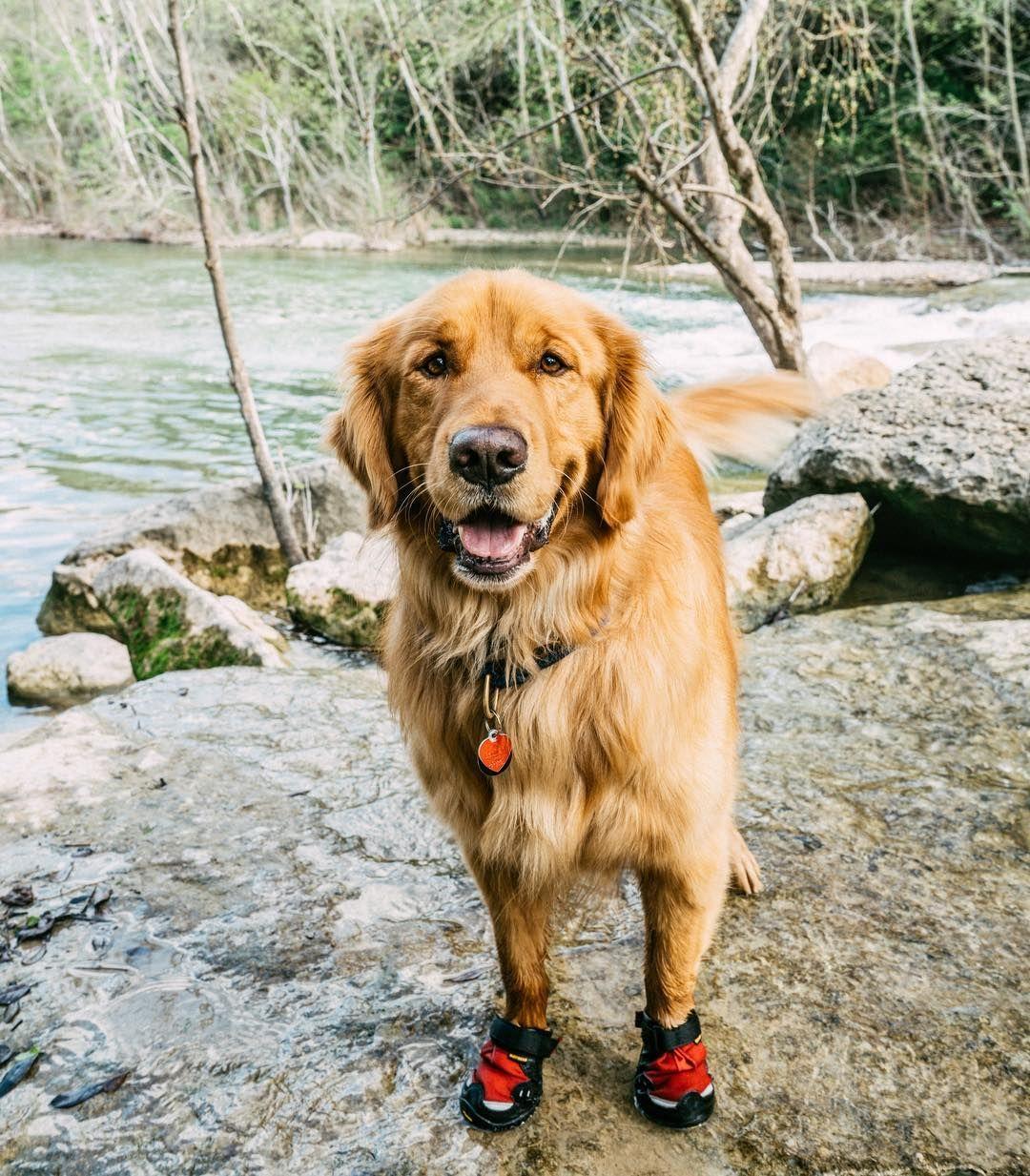 Golden Retriever Puppies For Sale Near Me Craigslist