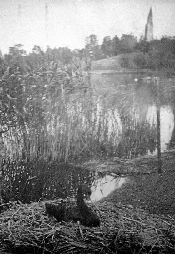"""""""Mustajoutsen Töölönlahdella sokeritehtaan takana arviolta vuonna 1955. Taustalla on Kallion kirkon torni"""", Mari Toukolehto esittelee."""