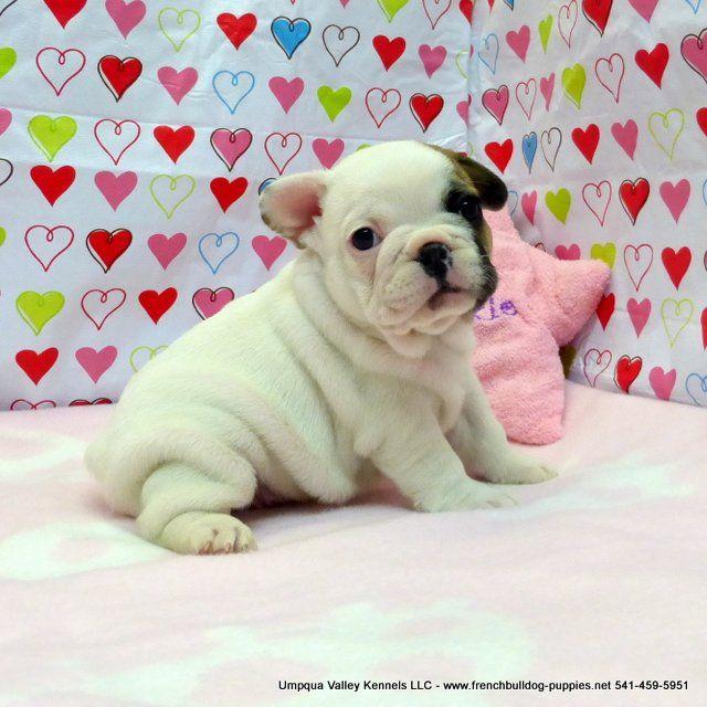 Viktoria Pups Akc French Bulldog Puppies For Sale Akc French