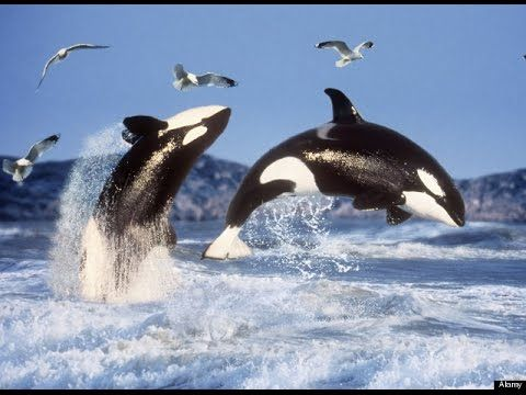 The Killer Whales Full Episode | PBS Nature the Killer Whale Nature Documentary - YouTube