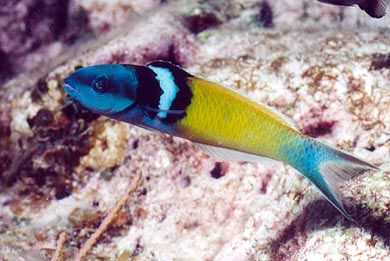 Bluehead Wrasse Ryby