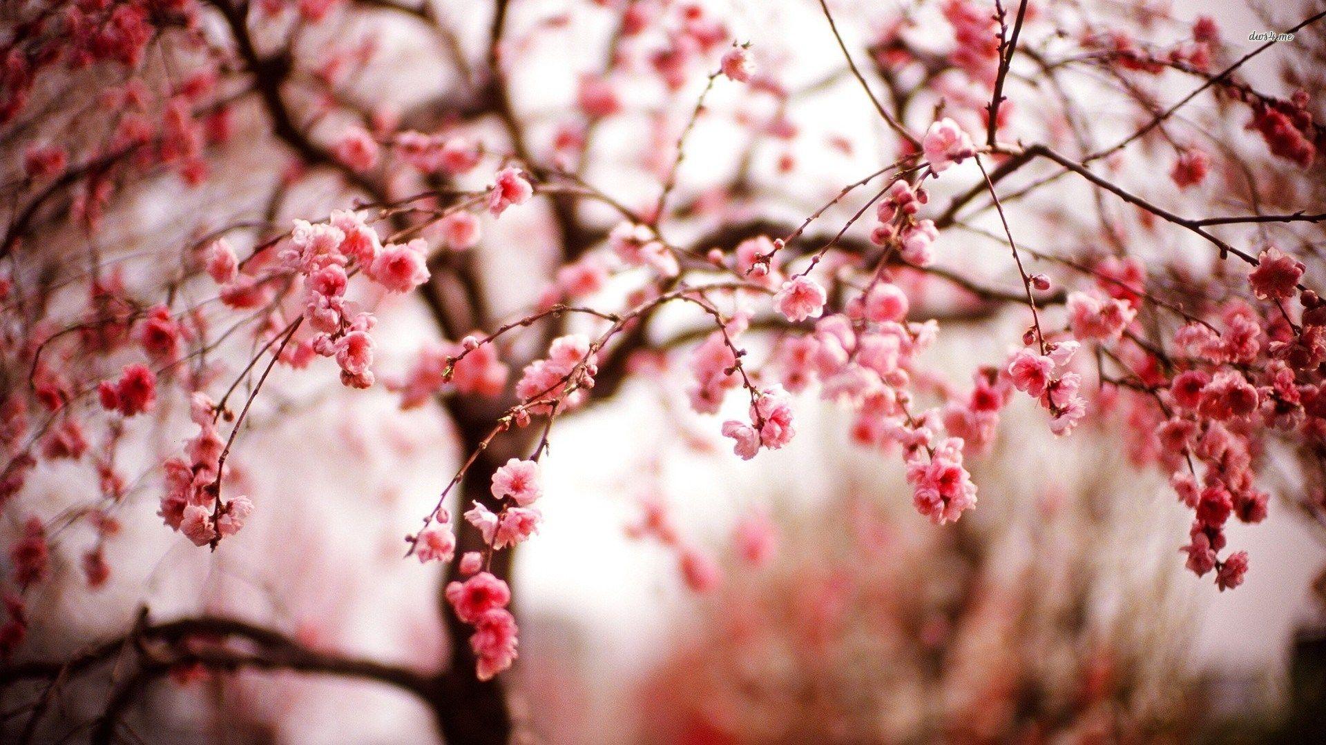 Cherry Blossom Free Desktop Wallpaper Cherry Blossom Wallpaper Cherry Blossom Tree Sakura Cherry Blossom