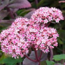 staude hohe fetthenne sedum matrona rosa garten pinterest flowers. Black Bedroom Furniture Sets. Home Design Ideas
