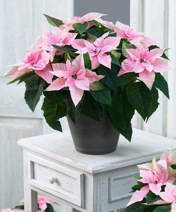 Euphorbia Pulcherrima Princettia Soft Pink Weihnachtsstern Pflanze Blumentopf Design Weihnachtsblumen