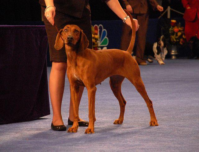R Redbone Coonhound Redbone Coonhound Coonhound Akc Dog Breeds