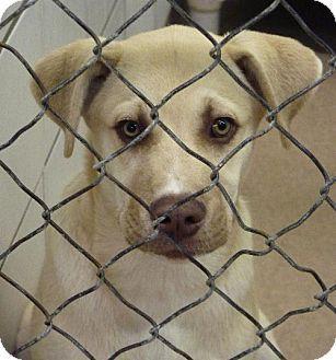Zanesville Oh Boxer Siberian Husky Mix Meet 39578 Gram A
