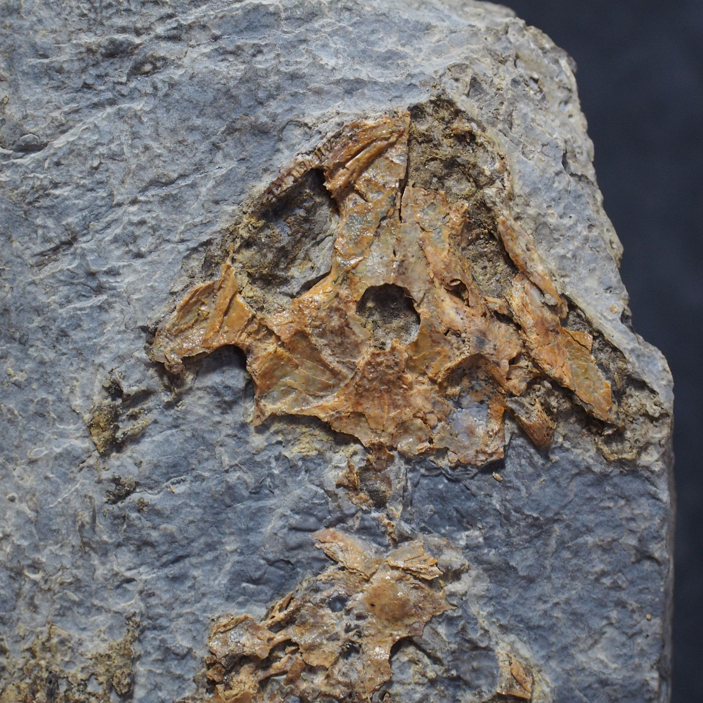 Czech Fossil Amphibian Discosauriscus Austriacus Permian
