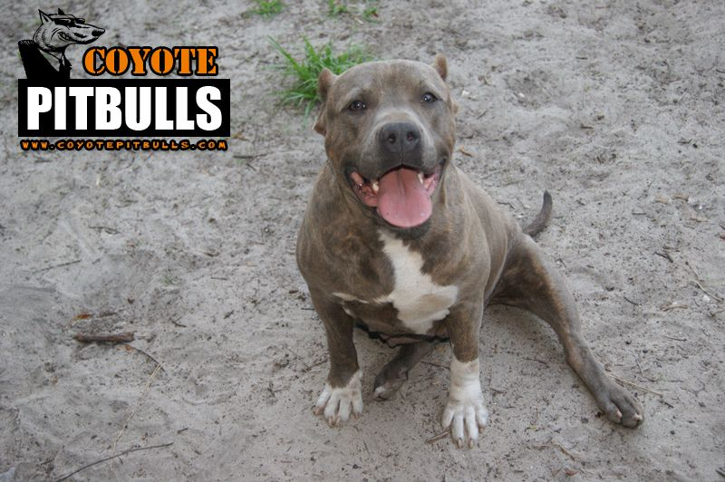 Novacaine all smiles =) Pitbull breeders, Pitbull