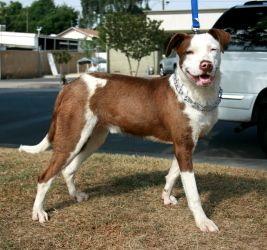 Pittie Cattle Dog Blue Heeler Mix Not For Breeding But I Love