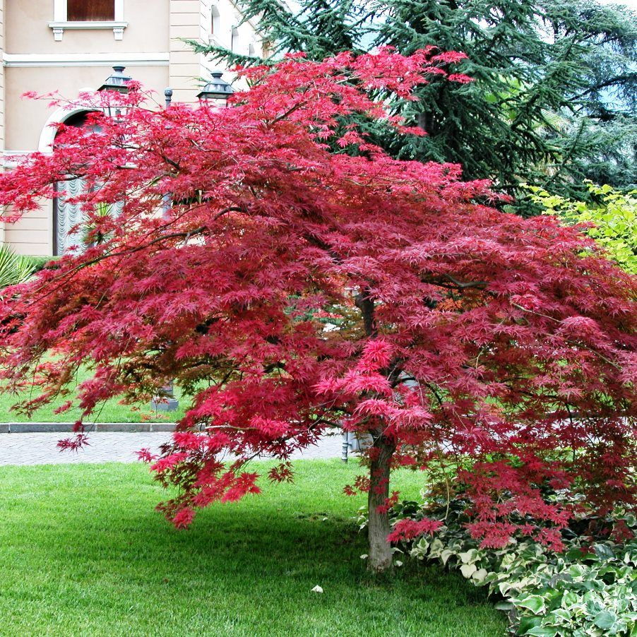 Acer palmatum atropurpureum bonsai pinterest acer for Japanese garden bushes