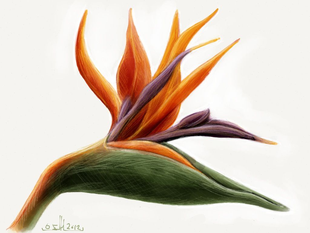 Bird Of Paradise Flower Drawing Google Search Birds Of Paradise Flower Birds Of Paradise Plant Plant Sketches