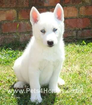 White Husky Puppy His So Cute When His Siting Down There All