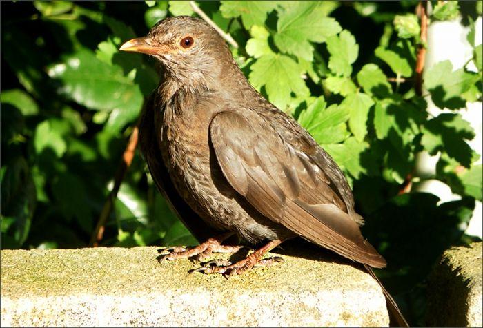 Amsel Jahreszeiten Galerie Community Vogel Im Garten