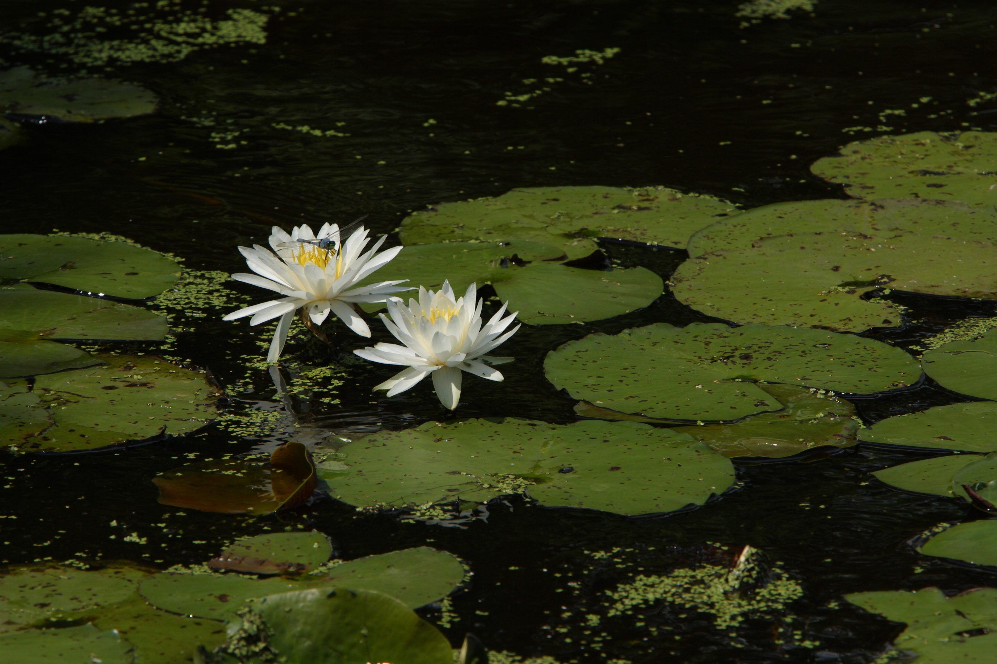 How to grow lotus from seed tuinideeen pinterest water plants how to grow lotus from seed the giant leaves and flowers of the lotus are mythical in their beauty you can grow these amazing large water plants from izmirmasajfo