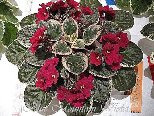 African Violet Aca's Red Ember (8732) J. Brownlie: Single-semidouble red sticktite pansy. Variegated medium green and white, plain. Standard.