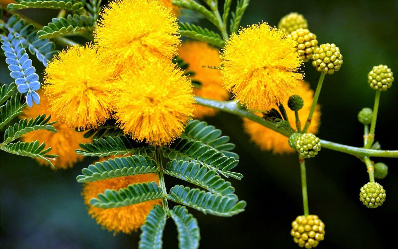 10 Golden Mimosa Flower Tree Yellow Seeds Garden Bonsai Potted Plant