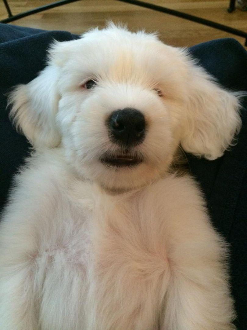 Tibetan Terrier Puppies For Sale Minneapolis Mn Puppies Terrier