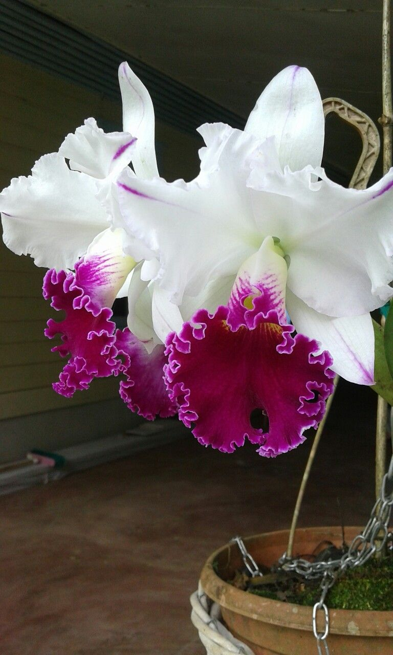 Cathleya orchid orchidee pinterest orchid flowers and flower