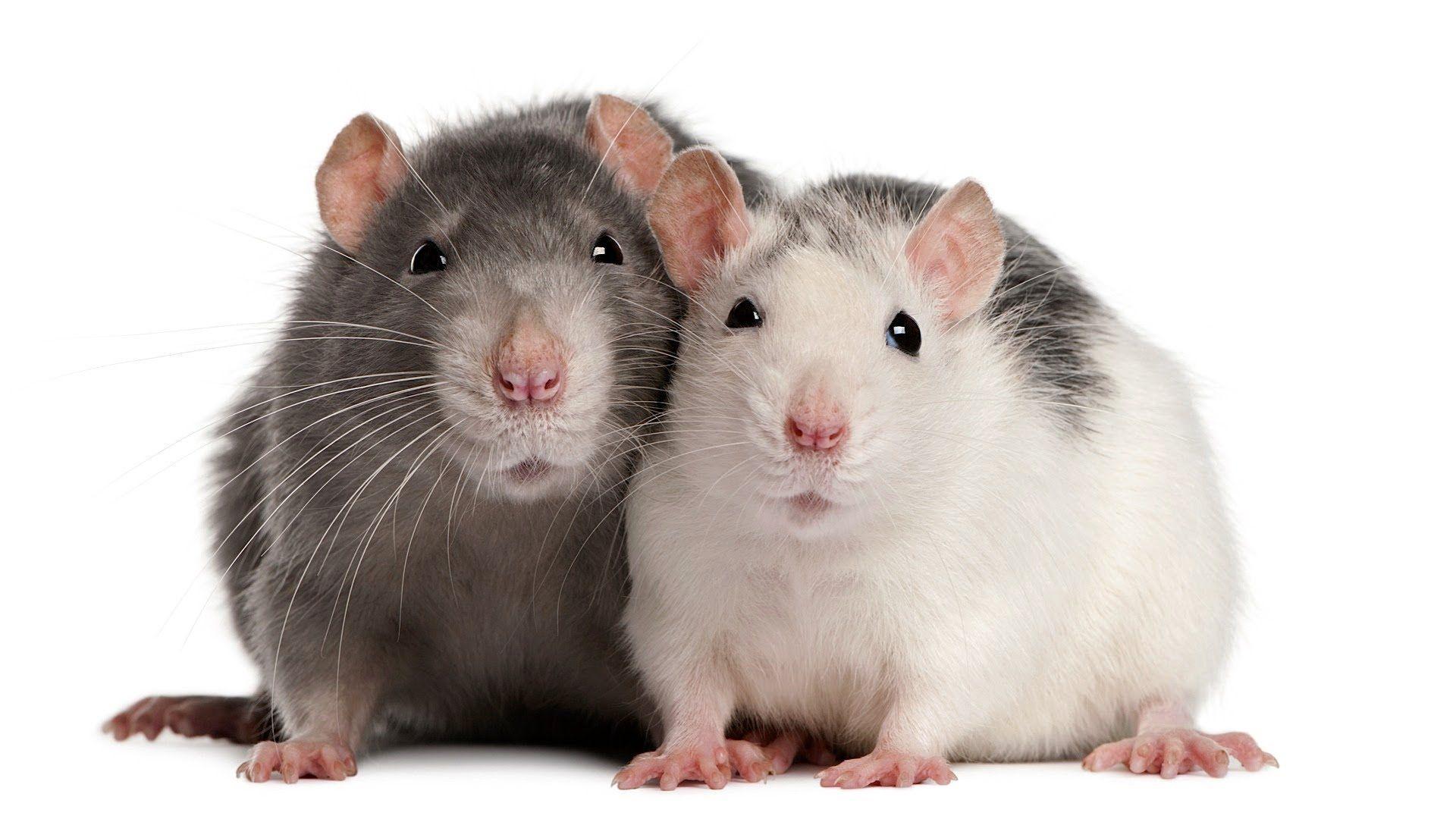 Pin On Rats