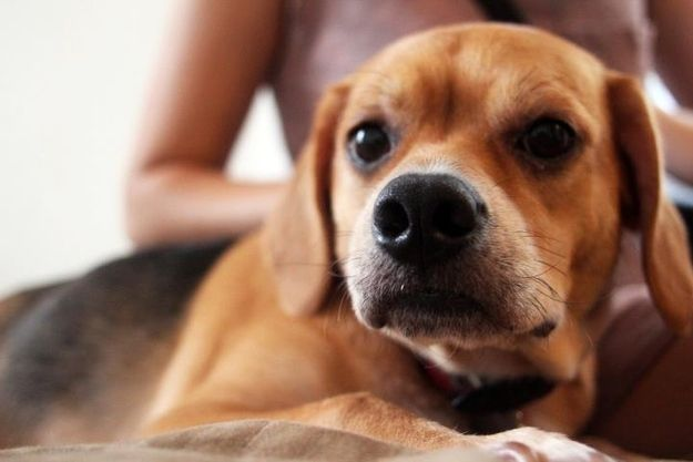 Top 20 Beagle Hybrids Beagle Dog Breed Beagle Beagle Mix